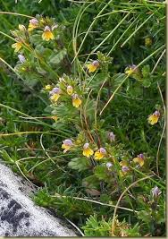 Flora - Eufrasia minima - in Valgrande