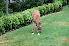 Keep Deer Away  The Best Deer Of 2017Keep Deer Away From Fruit Trees