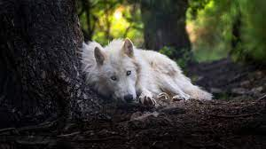 White Wolf Laptop Wallpapers on ...