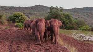 La tevé china transmite en directo las 24 horas la travesía de la manada de  elefantes