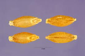 Plants Profile for Hordeum vulgare (common barley)