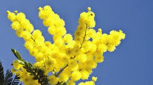 Risultati immagini per mimosa