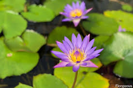 water lilies flower types colors and