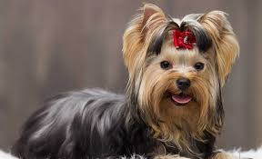 don t let their size fool you though the feisty yorkshire terrier is monly known as a tomboy toy breed for their confidence and courageousness