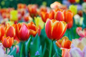 Tulips Near Dallas Fort Worth ...