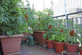 container gardening tomatoes.  Container Tomato Plants Grow In Various Kinds Of Containers And Prefer Sunny  Conditions Intended Container Gardening Tomatoes U