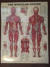Anatomy Chart Muscular System Details About The Muscular System Anatomical Chart Poster Print Laminated Poster Print 20x26