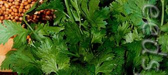 <b>Кориандр</b> овощной Бородинский, <b>3 г</b> Авторские сорта и гибриды ...