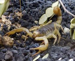 how long does a scorpion sting last