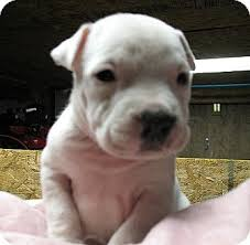 white pitbull terrier puppies. Exellent Terrier Adopted In White Pitbull Terrier Puppies U