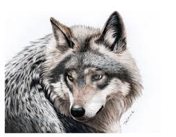 gray wolf drawing colored. Perfect Colored Gray Wolf Drawing  Photo9 On Wolf Drawing Colored L