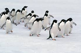 Image result for pics of adelie penguins