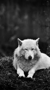 wolf wallpaper iphone tumblr. Plain Wolf With Wolf Wallpaper Iphone Tumblr O