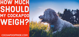 Cockapoo Weight Chart What Should Your Cockapoo Weigh