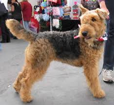 Airedale Weight Chart Airedale Terrier Airedale Dog Breed Guide Information And