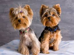 yorkshire terrier haircuts. Beautiful Yorkshire Yorkie Haircut Pictures With Yorkshire Terrier Haircuts W