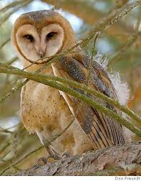 a young barn owl fledged from a hungry owl project owl box in novato owls