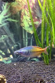 Bosemani rainbow fish. Freshwater ...