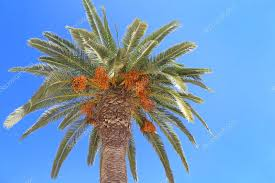 Date Palm  Free Pictures On PixabayPalm Tree Orange Fruit