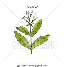 tobacco plant clipart. Plain Tobacco Tobacco Plant Hand Drawn And Plant Clipart R