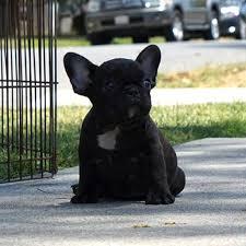 black french bulldog puppy. Modren French Black Brindle French Bulldog Puppy For Sale Inside O