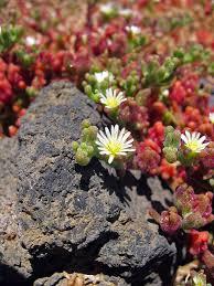 Mesembryanthemum - Wikipedia