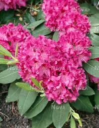 Rhododendron Bessie Howell - Media Database