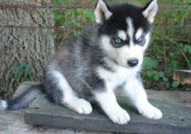 cute husky puppies with blue eyes.  Blue Cute Siberian Husky Puppies With Blue Eyes For Rehoming 1 Inside With E