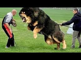 10 Most <b>Powerful Dogs</b> in the World - YouTube