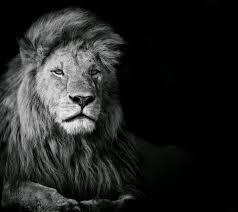 lion wallpaper black and white. Interesting White 1920x1080 Lion Background Intended Wallpaper Black And White P