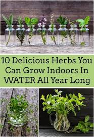 indoor herb gardens. 10 best herbs you can grow in water indoor herb gardens