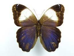 Caligo martia Männchen