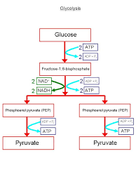 Glycolysis Flow Chart Respiration