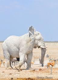 white elephant animal. Exellent Elephant Are Etosha Elephants Green White Grey Or Brown  Africa Geographic   Wild Animals Pinterest Animals Elephant And Albino To White Animal