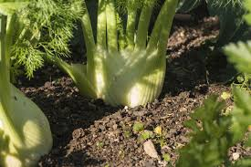 Harvesting Fennel Bulbs \u2013 How And When To Harvest Fennel
