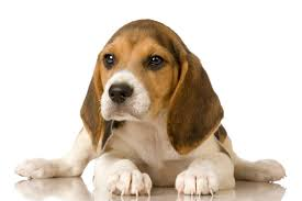 cute beagle puppies.  Puppies Portrait Of An Adorable Beagle Pup With Cute Puppies L