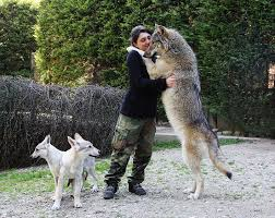 wolf hybrid size and weight photo 15