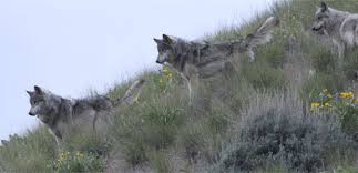 gray wolf fact sheet