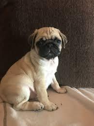 here pug puppies 6 chunky texas houston