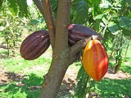 Resultado de imagen para fotos de cacao bien parido