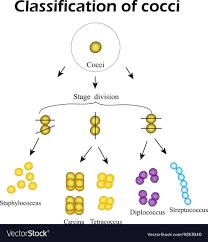 Bacteria Classification Classification Of Cocci Bacteria Infographics