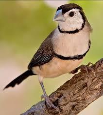 Prit gantil lagu mp3 download from mp3 ssx last update jan 2021. Mengenal Jenis Burung Emprit Harga Dan Suara