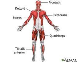 nervous muscular skeletal system human body systems essay my first reason is that the nervous system muscular system and the skeletal system they work together to make shore you don t hurt yourself by touching