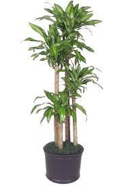 tall office plants. dracaena massangeana mass cane tall office plants o