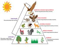 Blank Food Pyramid Chart Food Chain Worksheets Ecosystem And The Food Web