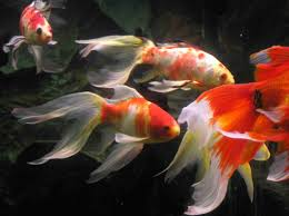 Shubunkins and fan tails (Gold Fish).