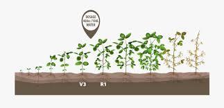 Green Bean Growth Chart Plant Soybeans Crop Bean Growth Green Growing Clipart