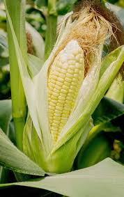 do you want to organically grow your own corn at home learn how to do