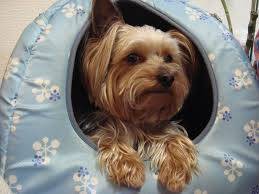top 10 mon health problems in yorkies you must be aware of