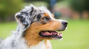 Australian Shepherd Information Characteristics Facts Names